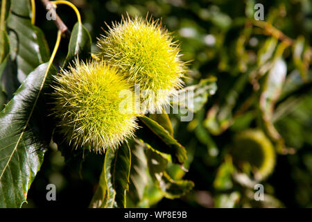 Closeup of maturing chestnuts on the tree. - Stock Photo