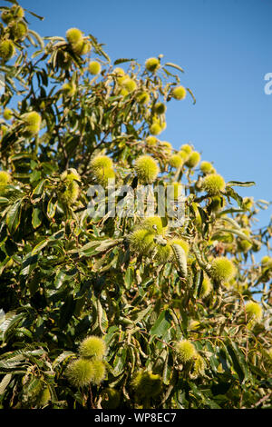 Maturing chestnuts on the tree. - Stock Photo