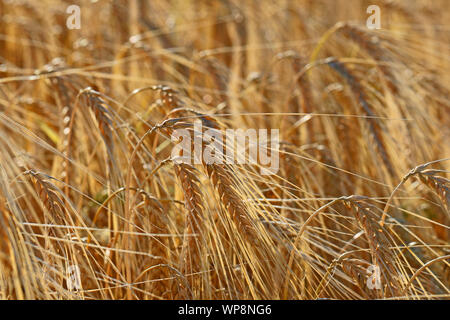 ears of barley Latin hordeum vulgare ripening in the sun in early summer in a field in Italy - Stock Photo
