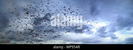 large group of flying bats, mega bats in the sk - Stock Photo