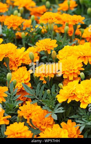 Marigold - French Durango Tangerine flowers