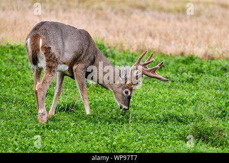White-tailed deer stag is having his dinner. - Stock Photo