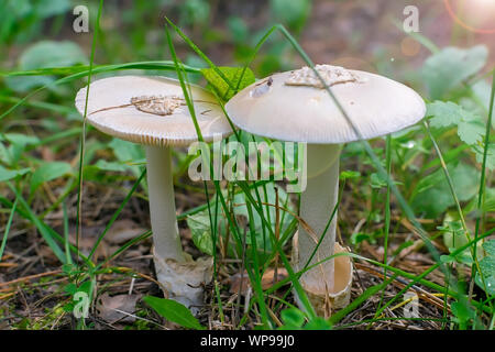 closeup, Amanita virosa, a deadly poisonous mushroom, a white toadstool stands in the spring grass against the background of beautiful sunlight