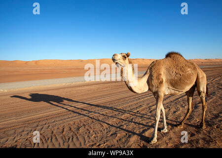 An Arabian camel / one-humped dromedary (Camelus dromedarius) and its shadow standing by the gravel road in Wahiba Sands in Oman - Stock Photo