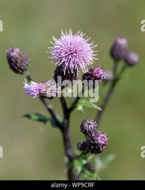 Acker-Kratzdistel, Cirsium arvense, ist eine Wild-und Heilpflanze mit lila Blueten und wird in der Medizin verwendet. Creeping Thistle, Cirsium arvens - Stock Photo