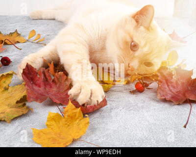 white cat playing with autumn leaves