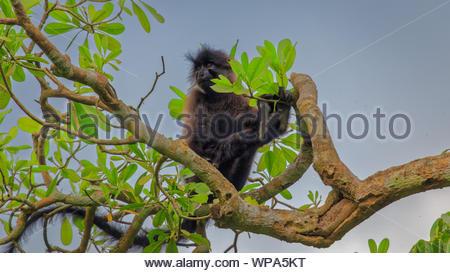 Grey-cheeked mangabey (Lophocebus albigena) monkey sitting high on a tree in Bogodi Wetlands, Uganda - Stock Photo