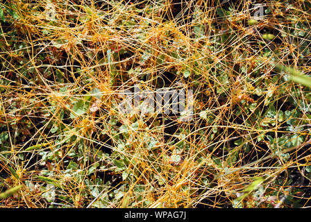 Cuscuta europaea  (greater dodder, European dodder) on green grass, close up detail top view, natural organic detail - Stock Photo