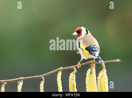 Close up of a Goldfinch (Carduelis carduelis) perched on a hazelnut tree with catkin, UK. - Stock Photo