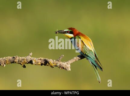 Close up of European Bee-eater (Merops apiaster) with a bee in the beak. - Stock Photo