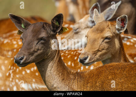 Fallow deer Dama dama, two does with ear tags, Phoenix Park, Dublin, Ireland, Europe. Side face profile, dark and light coloured colored coats. - Stock Photo