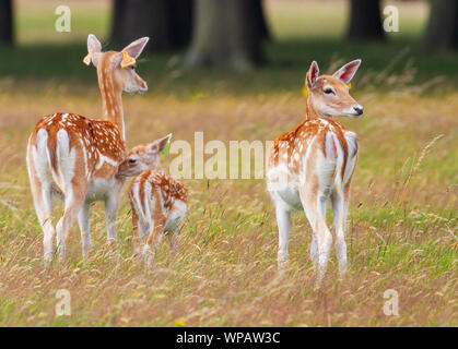 Fallow deer, Dama dama, does with small baby fawn and ear tags, Phoenix Park, Dublin, Ireland, Europe. Fawn nuzzling mother, wild herd roam free - Stock Photo