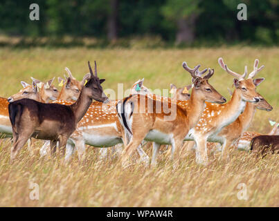 Fallow deer Dama dama, tagged wild herd, Phoenix Park, Dublin, Ireland, Europe with tall green grass and trees. Young bucks and does colour variation - Stock Photo