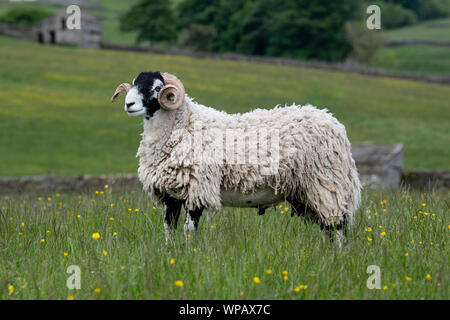 Swaledale ram in traditional upland pasture, Hawes, North Yorkshire, UK. - Stock Photo