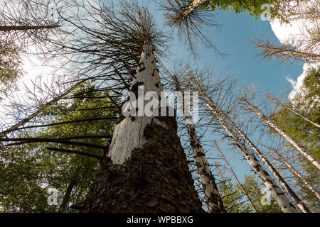 Invasion of the bark beetle destroys national park trees - Stock Photo