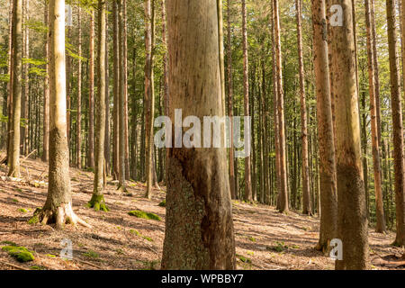 Trees without bark in the national park after bark beetle infestation - Stock Photo