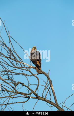 Western marsh harrier Circus aeruginosus, adult female, perched in bare tree, Tiszaalpár, Hungary, May - Stock Photo