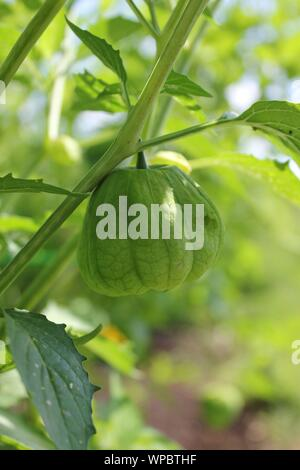 Farm fresh green tomatillos, Mexican husk tomato, produce growing on the vine at the local community garden. - Stock Photo