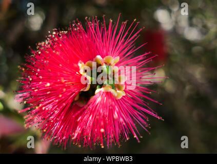 Beautiful flower of Japanese red maple Callistemon - Stock Photo