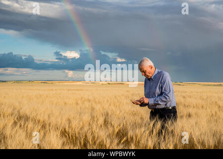 Older male farmer standing in a wheat field examining the seed under a rainbow - Stock Photo