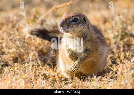 A ground squirrel runs up for a closer look in Mountain Zebra National Park, South Africa - Stock Photo
