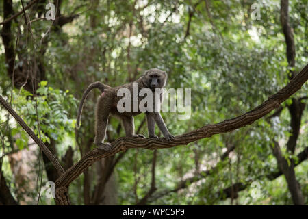 Baboon climbing on a branch in Nechisar national park in Ethiopia. - Stock Photo