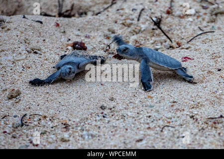 Akumal, Mexico. 07th Sep, 2019. About 120 green sea turtles (Chelonia mydas) hatch in the evening at the beach of Akumal (peninsula Yucatan). Several tourists follow the spectacle, how the young animals dig themselves out of their subterranean nest after approximately 60-days of incubation and set off alone on the way into the sea. The biologist Jose Luis supervises the excavation and hatching of the small turtles. Credit: Christoph Reichwein/Christoph Reichwein (crei)/dpa/Alamy Live News - Stock Photo