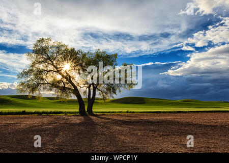 Setting sun with a starburst through a lone oak tree in the Palouse, Washington - Stock Photo