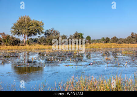 Typical beautiful african landscape, wild river in national park Bwabwata on Caprivi Strip with water lilies bloom in water. Namibia africa wilderness - Stock Photo