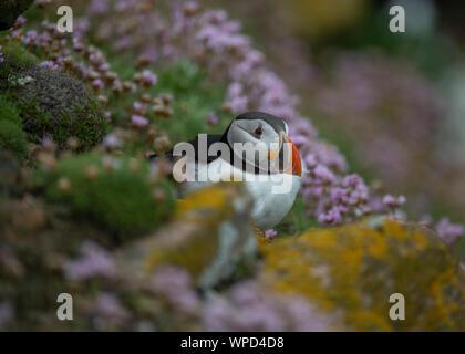 Puffin (Fratercula arctica), amongst sea pinks (thrift), Great Saltee, Kilmore Quay, County Wexford, Ireland - Stock Photo