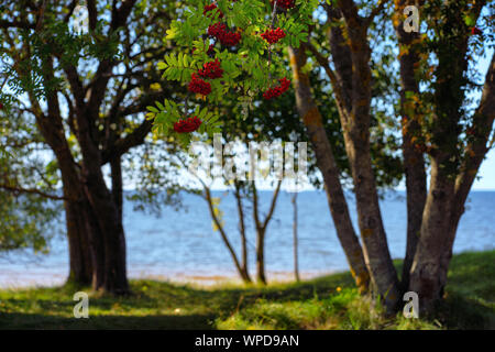 Mountain ash on the Baltic Sea in the dunes - Stock Photo