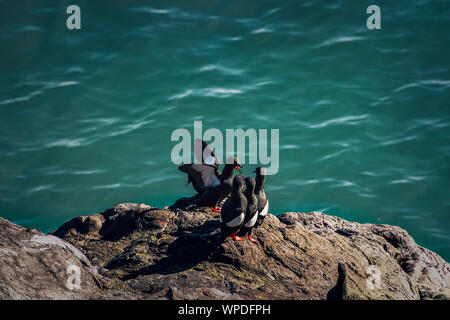 Conceptual image of teacher in front of students. Group of Common Guillemots on exposed rock of Irish Sea. Bray Head, co.Wicklow, Ireland. - Stock Photo
