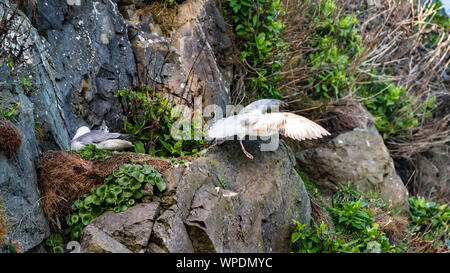 Pair of Fulmars (Fulmarus glacialis) sitting on their nest between rocks in wind shaded spot at exposed sea cliffs and taking flight. Bray Head - Stock Photo