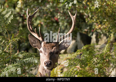 Detailed, front view close up of a young red deer stag (Cervus elaphus UK) isolated in the autumn sunshine hiding in foliage. - Stock Photo