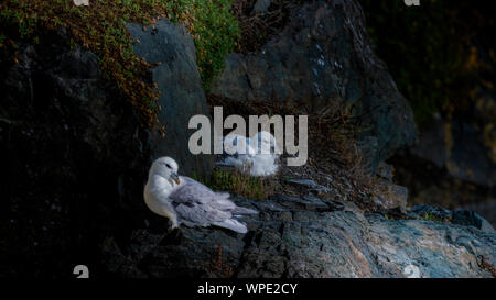 Pair of Fulmars (Fulmarus glacialis)  making cosy at their nest between rocks in wind shaded spot at exposed sea cliffs. Bray Head, co.Wicklow Ireland - Stock Photo
