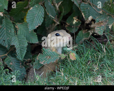 European squirrel comes out of its burrow - Stock Photo