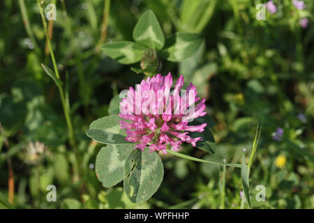 pink or red clover in flower state symbol of Vermont Latin trifolium pratense or wild field clover in bloom with variegated leaves in Italy - Stock Photo