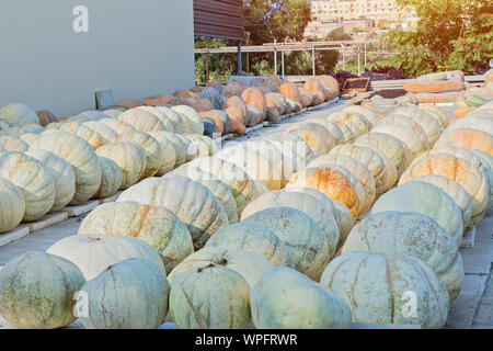 Ripe pumpkins of various sizes are stored in farmyard outdoor. Harvest and autumn concept - Stock Photo