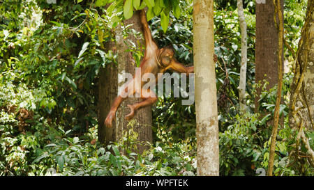 Orangutan Climbing On Trees, Borneo, Malaysia, Sepilok. - Stock Photo