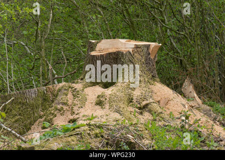 Stump of an unstable, rotten, oak tree (Quercus robur) beside a road and felled for safety reasons, berkshire, April - Stock Photo