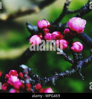 Close-up Of Pink Rose Buds On Twig - Stock Photo