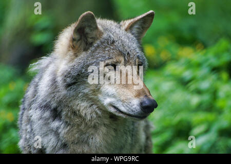 Close Up Of Wild Grey Wolf In Polish Forest. - Stock Photo
