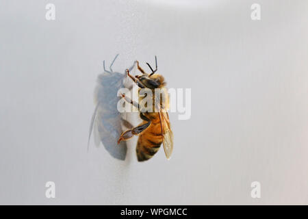 honey bee or worker bee extreme close up Latin apis mellifera crawling on a shiny surface in springtime in Italy - Stock Photo