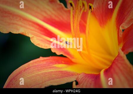 Macro Shot Of Insect Flying By Stamen In Orange Tiger Lily - Stock Photo