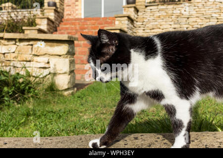 A black and white moggie cat walking on a low wall, UK - Stock Photo