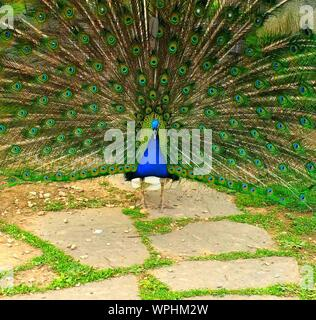 Portrait Of Dancing Peacock On Field - Stock Photo