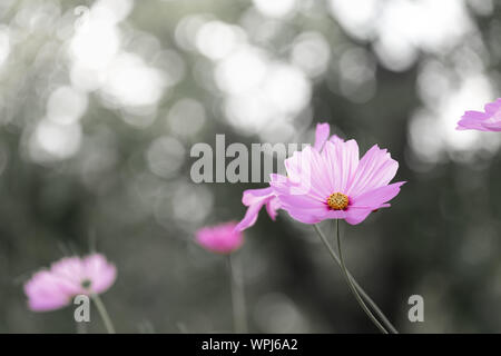 Black and white blackground-field of blooming  pink sulphureus flower in the garden, Thailand. - Stock Photo