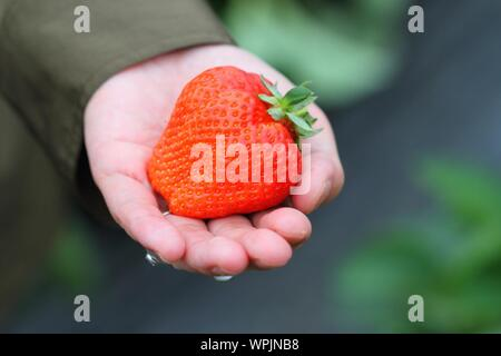 Cropped Hand Holding Strawberry - Stock Photo