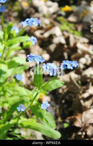 Blue Alpine Forget-me-not Blooming In Garden - Stock Photo