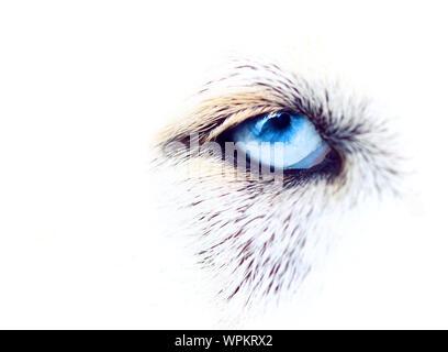Close-up Of Siberian Husky Eye - Stock Photo